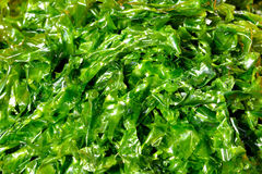 Green background, kelp. Green kelp in featured color, shape and texture, as detail pattern or designing Royalty Free Stock Images