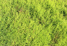 Green background of kochia plants. On a sunny day Stock Image