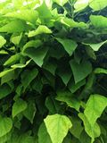 Green background of large leaves of an ornamental tree. Texture or background of green large leaves of an ornamental tree on a sunny day stock images