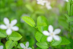 Fresh young bud soft green leaves blossom on natural greenery plant and white flower blurred background under sunlight in garden,. Abstract image from nature stock image