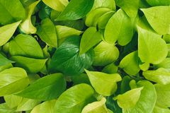 Green background of leaves. royalty free stock image