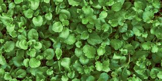 Green background of young leaves. royalty free stock photo