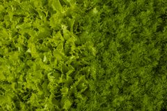 Green background of lettuce and dill. Royalty Free Stock Photography