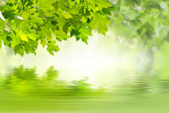 Green Background with Maple Stock Photography