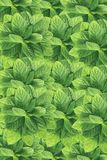 Green background, mint leaves Stock Image