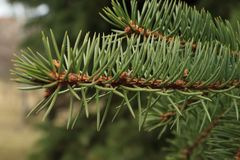 Green background of paws branches ate with spiky claws needles. Spruce is a genus of coniferous evergreen trees of the Pine family Pinaceae royalty free stock photo