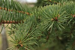Green background of paws branches ate with spiky claws needles. Spruce is a genus of coniferous evergreen trees of the Pine family Pinaceae stock photo