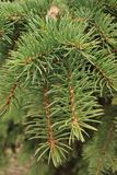 Green background of paws branches ate with spiky claws needles. Spruce is a genus of coniferous evergreen trees of the Pine family Pinaceae stock photography