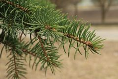 Green background of paws branches ate with spiky claws needles. Spruce is a genus of coniferous evergreen trees of the Pine family Pinaceae royalty free stock images