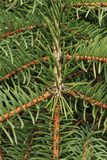 Green background of paws branches ate with spiky claws needles. Spruce is a genus of coniferous evergreen trees of the Pine family Pinaceae royalty free stock photography