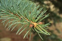 Green background of paws branches ate with spiky claws needles. Spruce is a genus of coniferous evergreen trees of the Pine family Pinaceae royalty free stock image