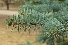 Green background of paws branches ate with spiky claws needles. Spruce is a genus of coniferous evergreen trees of the Pine family Pinaceae royalty free stock photos