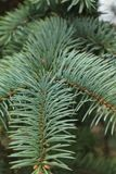 Green background of paws branches ate with spiky claws needles. Spruce is a genus of coniferous evergreen trees of the Pine family Pinaceae stock image