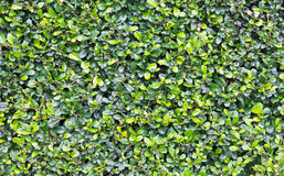 Green background of siamese rough bush Stock Photography