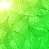 Green background from small leaves Royalty Free Stock Image