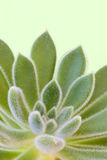 Green background with succulent plant Royalty Free Stock Photography