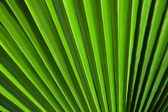 Green background. Texture of palm Leaf Stock Photography