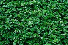 Green background texture of shamrock alfalfa.Green plants. leav royalty free stock images