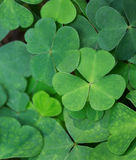 Green background with three-leaved shamrocks. Stock Images
