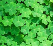 Green background with three-leaved shamrocks. St. Patrick`s day holiday symbol. Shallow DOF,  focus on near leaf Royalty Free Stock Image
