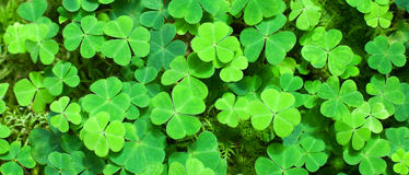 Green background with three-leaved shamrocks. St.Patrick`s day holiday symbol. selective focus royalty free stock images