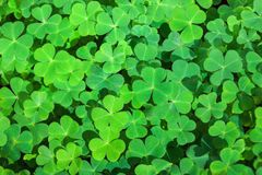 Green background with three-leaved shamrocks. St. Patrick`s day holiday symbol. Selective focus.  stock image