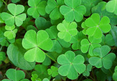 Green background with three-leaved shamrocks. Royalty Free Stock Photography