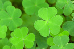 Green background with three-leaved shamrocks. St.Patrick's day holiday symbol. Shallow depth of field, focus on near leaf Royalty Free Stock Image