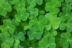Green background with three-leaved shamrocks. St. Patrick`s day holiday symbol. Shallow DOF. Selective focus.  royalty free stock image