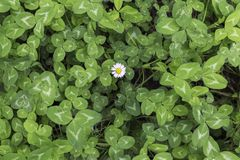 Green background of clovers with a lonely daisy royalty free stock photos