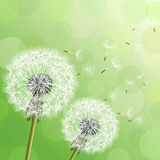 Green background with two flowers dandelions Royalty Free Stock Photography