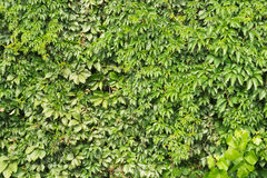 green background of vine leaves Stock Images