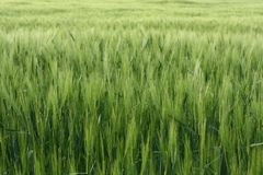 Green background of vivid green grass of meadow royalty free stock images