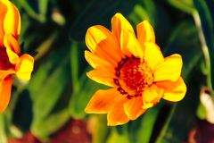 Yellow flowers. Green background yellow dasy outdoors sunny warm royalty free stock photography