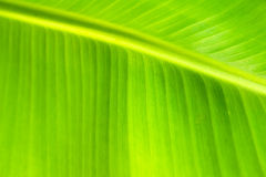Green backlit leaf background Royalty Free Stock Photo