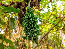 Balsam apple hanging from a tree royalty free stock photo