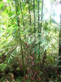 Green bamboe tropical rainforest background.  royalty free stock photography