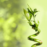 Green bamboo. Over background, spa concept Stock Image