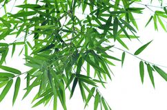 Green bamboo Stock Image