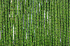 Green bamboo. Wall texture background Stock Image