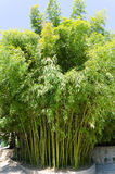 Green bamboo Stock Images