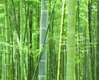 Green bamboo. Forest in asia Stock Image