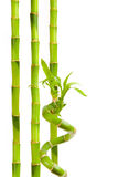 Green bamboo. Isolated on white Royalty Free Stock Image