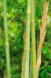 Green bamboo Stock Photos