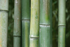 Green bamboo. In the tropical forest Royalty Free Stock Photography