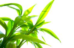 Green bamboo against white Royalty Free Stock Photo