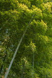 Green bamboo in Arashiyam in Japan Royalty Free Stock Image