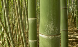 Green bamboo background. Warm tones green bamboo forest background, shooting as macro image, so the sharp and clear focus is on first big pole only Stock Image