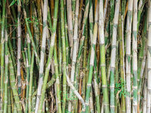 Green bamboo background Royalty Free Stock Image