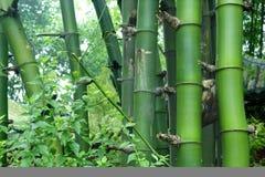 Green bamboo : Bambusa sinospinosa McClure. Green bamboo in a garden stock image